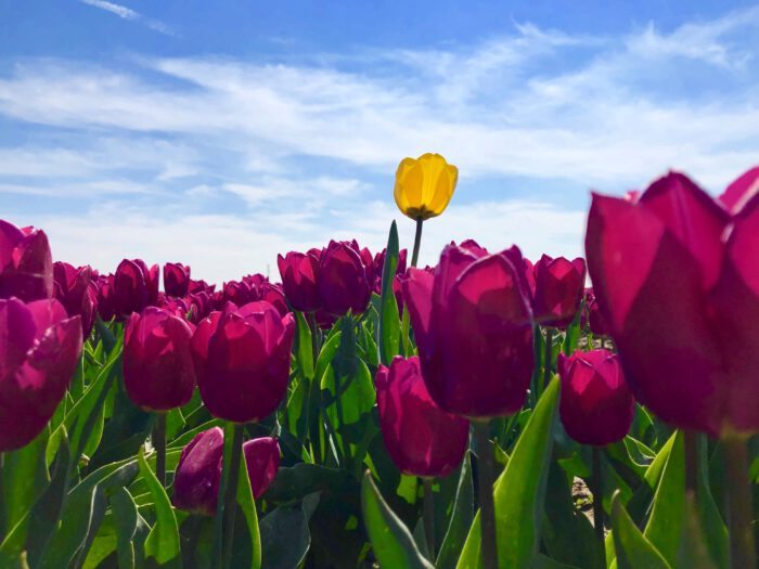 Fotografie Tulpen Zeeland